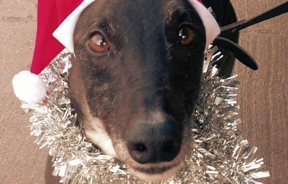 Local Greyhound Charity Appeals for a Merry Christmas for two of its loneliest hounds