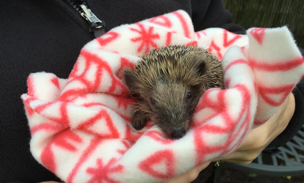 Onesie Warmer for Orphaned Baby Hedgehog