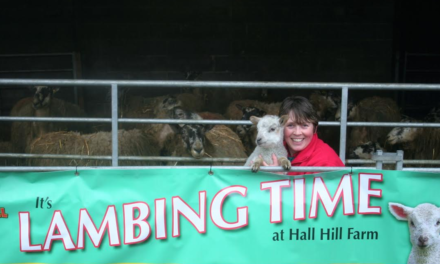 Gates Open at Hall Hill Farm for Lambing Season