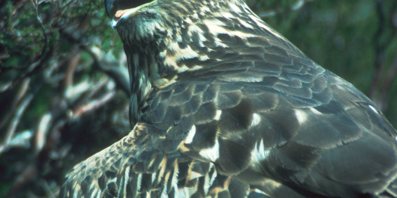 Fledging success for Northumberland Hen Harriers