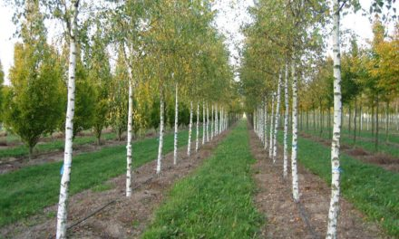 New Silver Birch for Stocksfield in National Tree Week