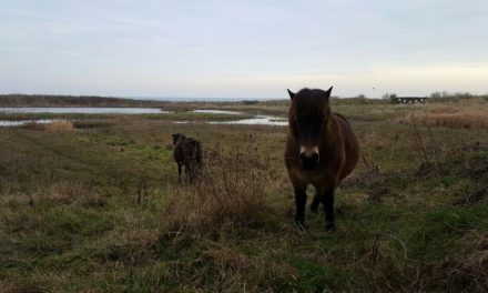 Ponies take the reins at wetland