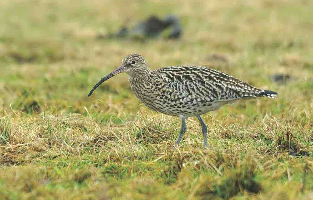 The Northern Upland Chain Local Nature Partnership campaign to highlight decline of the Curlew