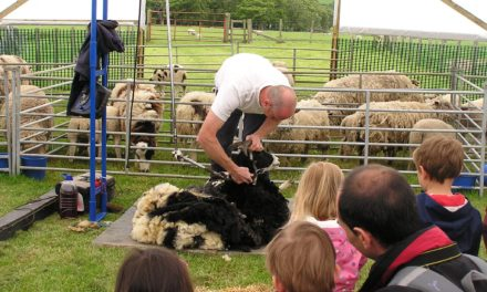 Visitors Expected to Flock to Durham Attraction for Sheep Shearing Event