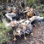 READY FOR LIFT OFF! HEN HARRIER CHICKS TAKE FLIGHT FROM YORKSHIRE GROUSE MOORS