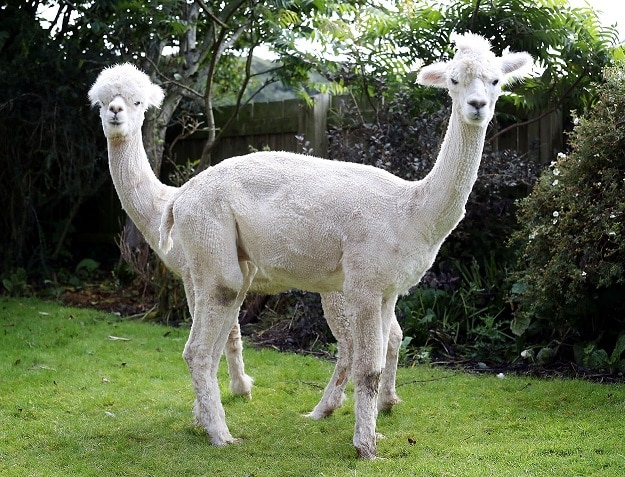 No need for a llama – it's just a couple of alpacas