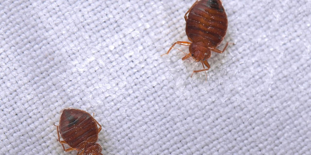 What Causes Bed Bugs And How To Get Rid Of Them