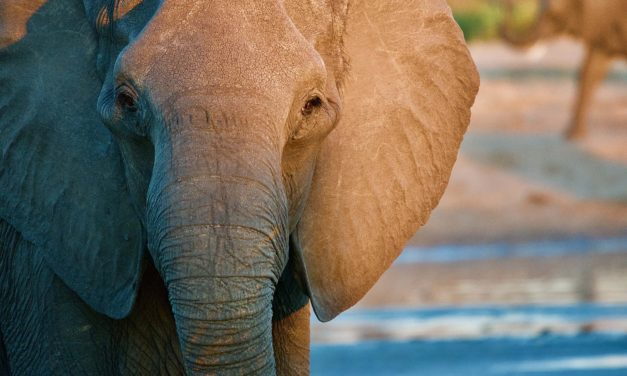 COVID-19 lockdown threatens African elephants