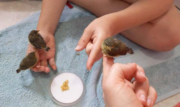 Quick-thinking students save lives of chiffchaff chicks
