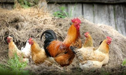How to Begin a Poultry Farm Operation