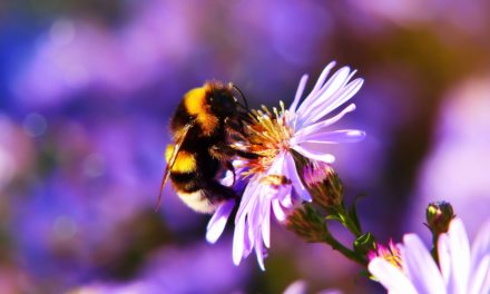 'Urban gardens for wild bees': What flowers to plant in Autumn to help inner-city bees