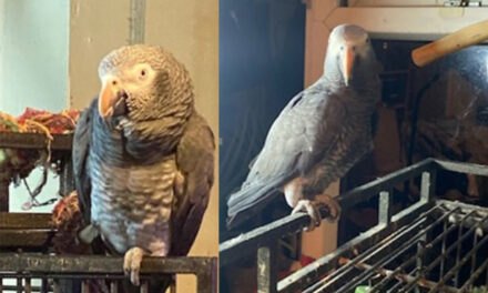 Has anyone seen Charlie, the flyaway parrot?
