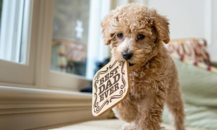 Interesting Things You Did Not Know About Miniature Labradoodle