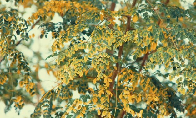 Moringa: The Miracle Plant That You Should Start Eating